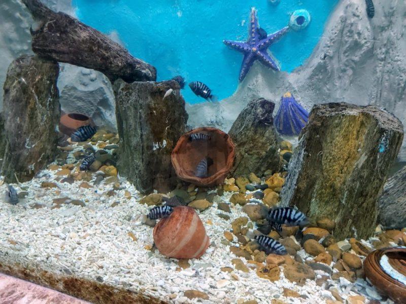 Tiger fish at the Alexandria Aquarium